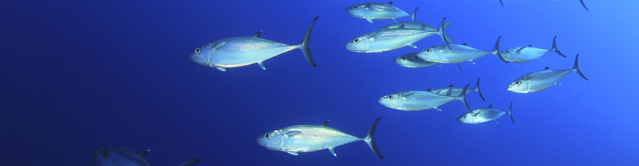 La tracciabilità del tonno